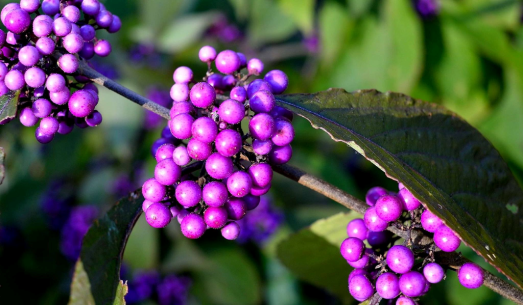 Do Tung - Purple beautyberry