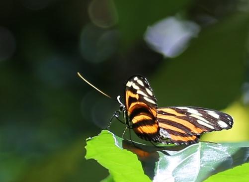 vandungsilk butterflies 1