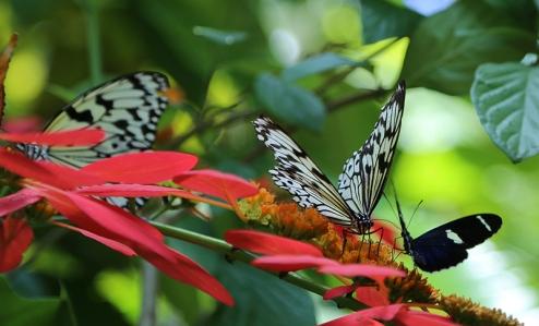 vandungsilk butterflies 1a