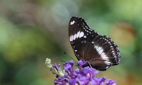 vandungsilk butterflies 1d