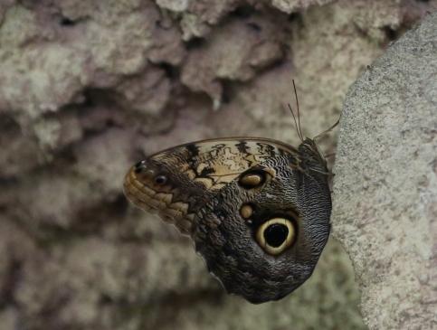 vandungsilk butterflies 1e